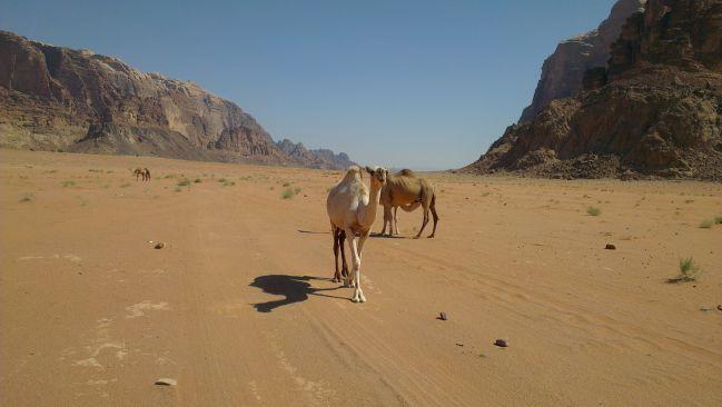 Wadi Rum - Chameau